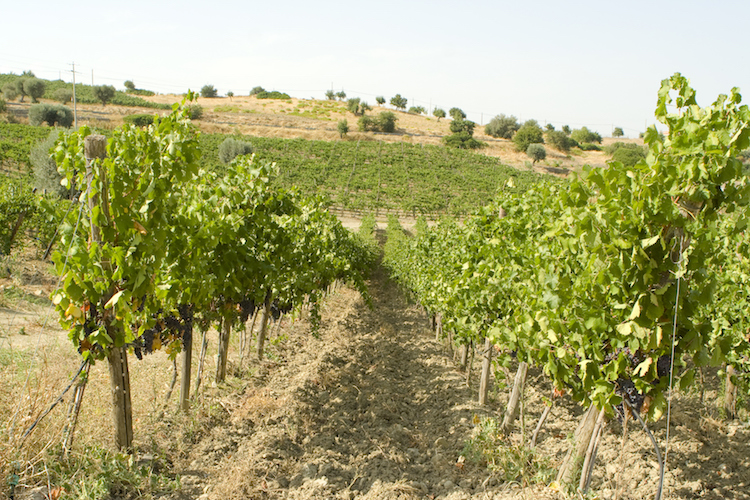 Vineyard in Calabria, Italy