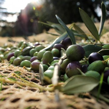 Olive Oil: From Grove to Table