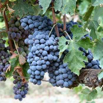 Get to Know Sangiovese
