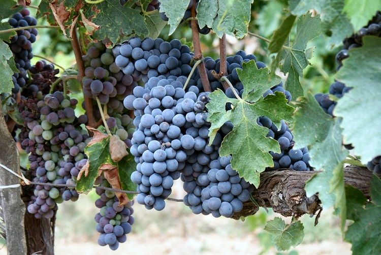 Get to Know Sangiovese Wine