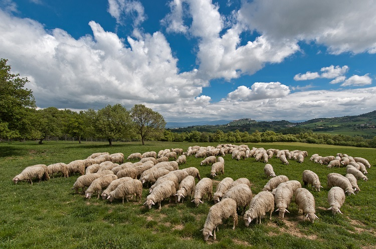 Counting Sheep in Toscana