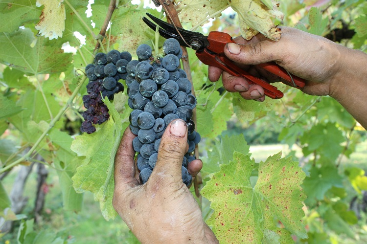 winery grapes hands aglianico taurasi