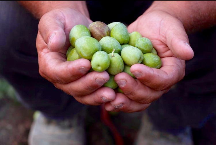 A Guide to Italy's Olive Cultivars