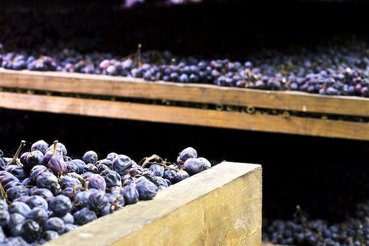 Bunches of grapes used for Amarone