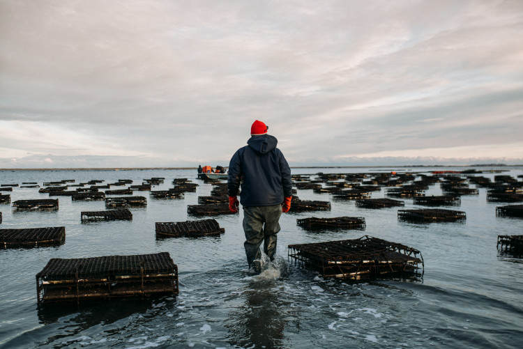 Oyster farming in New York