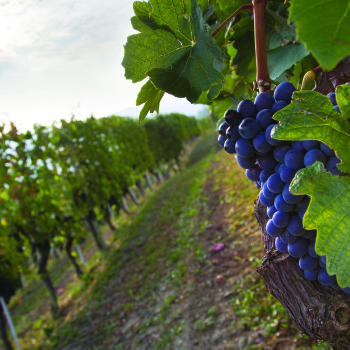 All About Nebbiolo